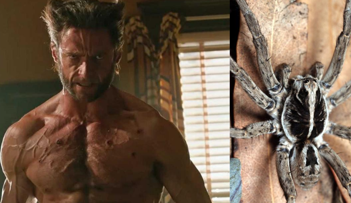 Screen shot from the film wolverine on the left and a wolf spider on the right