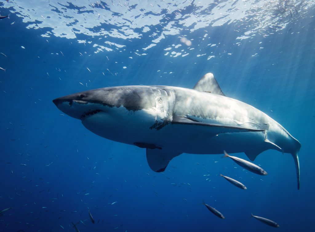 A great white shark swimming in the water