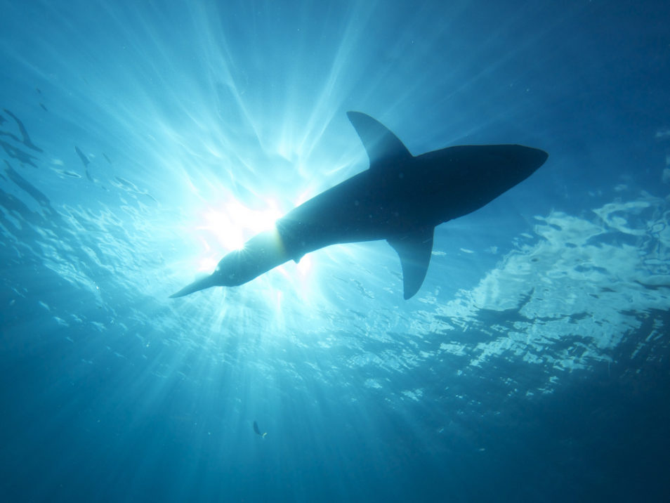 Great white shark swimming in the water