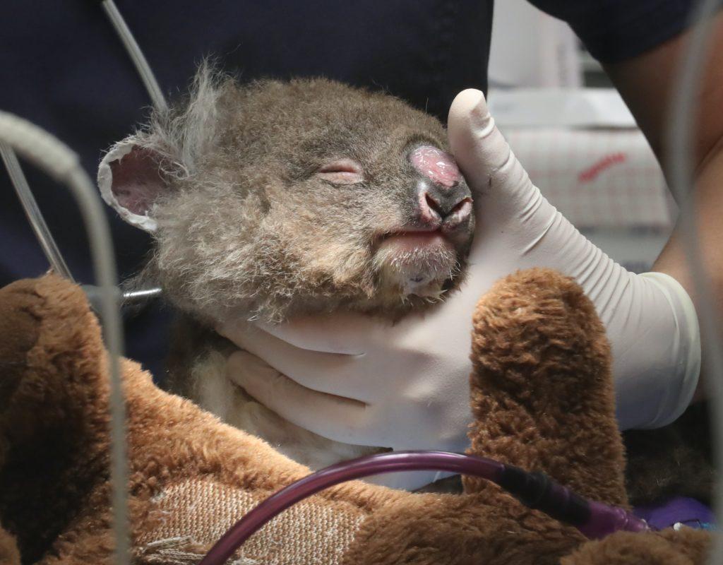 koala with burnt nose