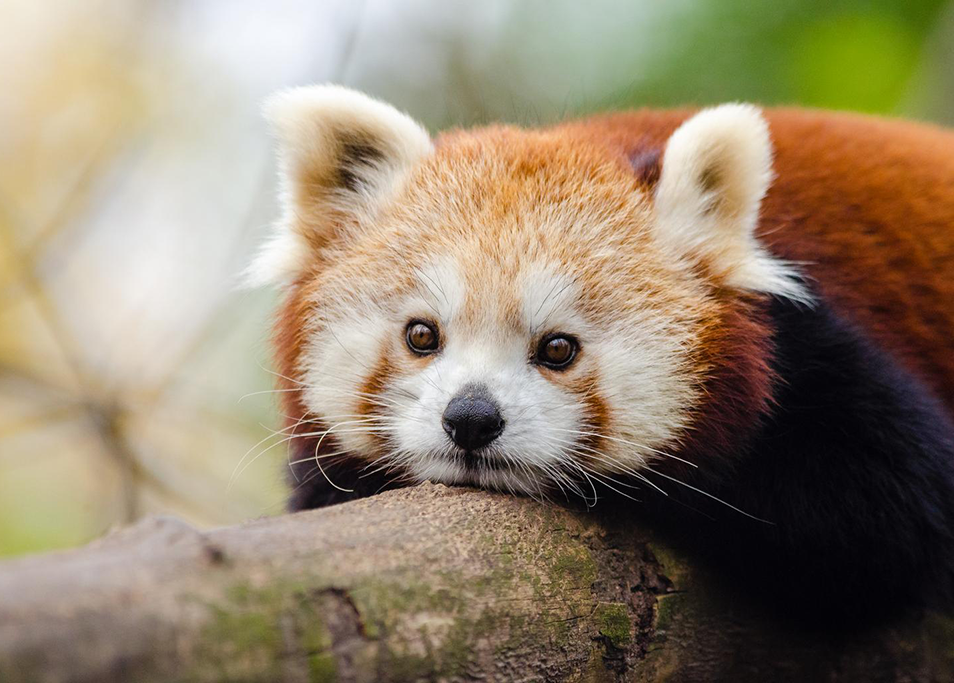 Red panda lays on a log