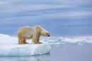 Polar bear standing on ice looking into the water