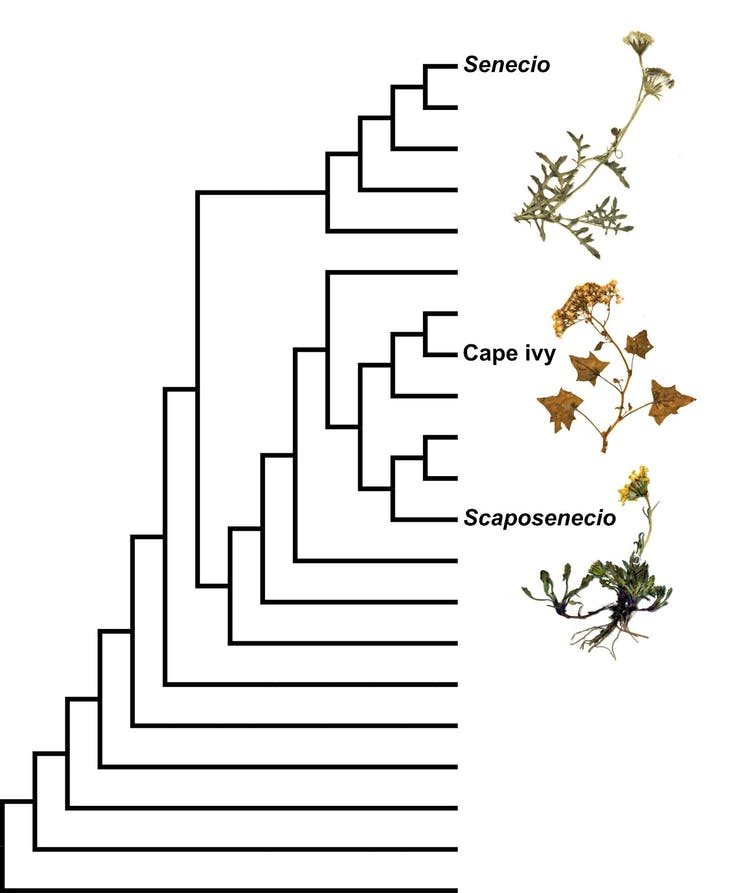 Simplified phylogenetic tree showing the new genus of a daisy.