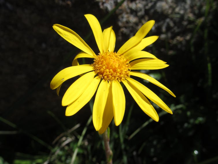 Close up of a single yellow daisy as part of our discovery of a new genus