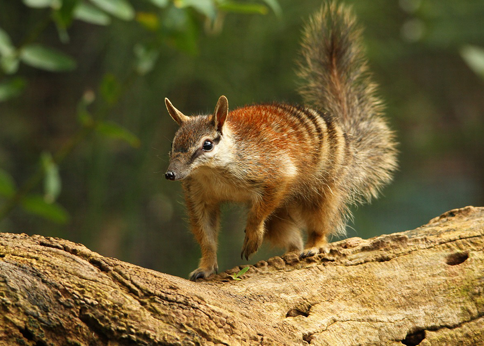 Beautiful biodiversity, a numbat walks across a tree branch