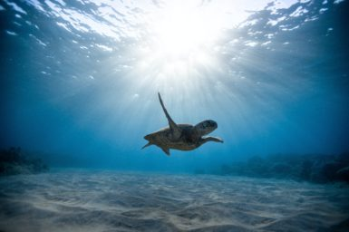 A turtle swimming underwater.