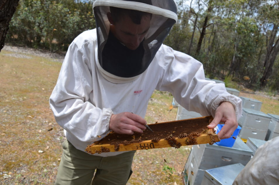 A man in bee keeping protective wear looking at bees.