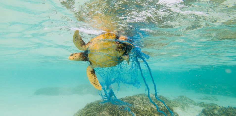 A turtle tangled in a net
