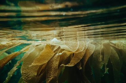 Kelp underwater