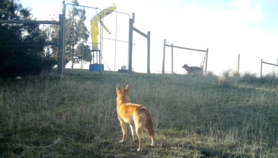 A dingo approaches an inflatable balloon man. One of our 2020 science stories.
