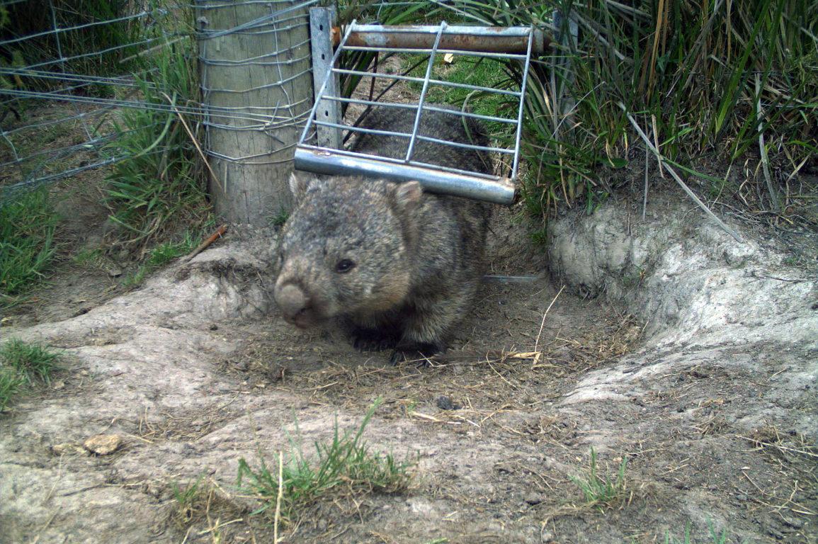 Wombat walking through gate