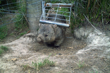 Wombat walking through gate