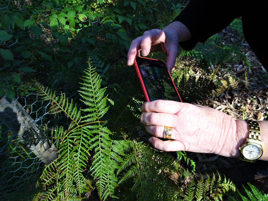 A citizen scientist holding a mobile phone to photograph a fern