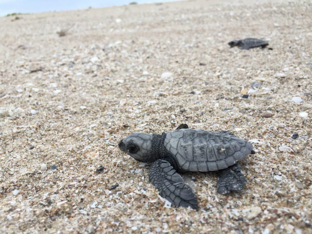 baby turtles, turtles,