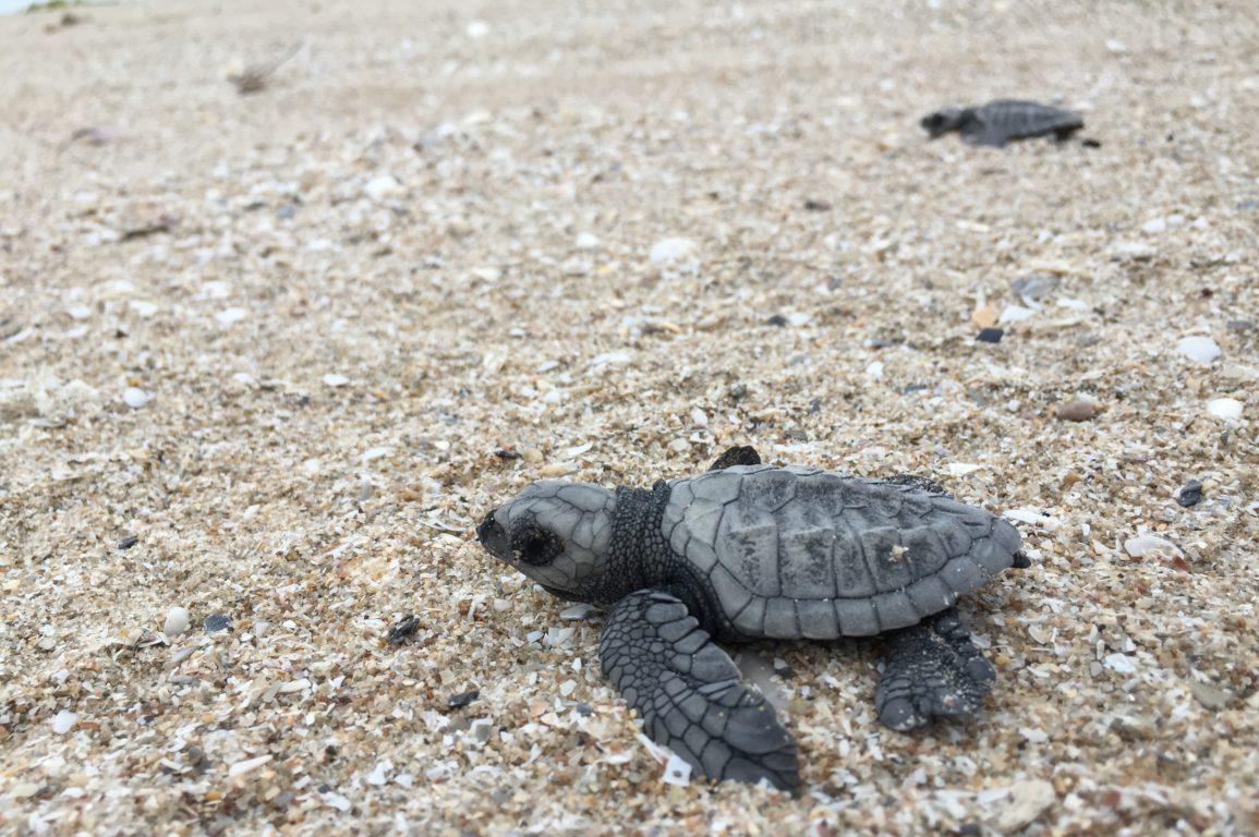 baby turtles, turtles, indigenous partnership, Indigenous partnership turtles
