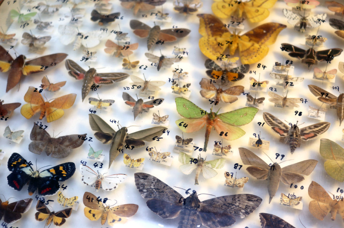 Pinned specimens in our insect collection