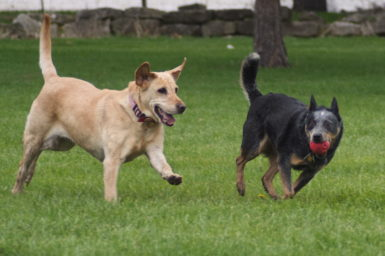 Two dogs, one cream coloured, and one dark, holding a ball in its mouth, are running on grass.