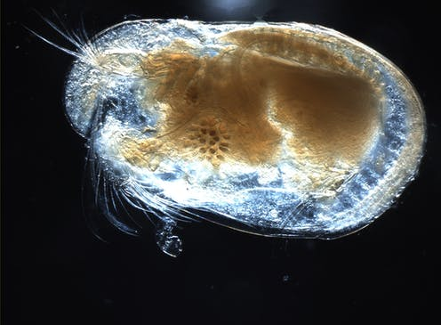 An ostracod, a small crustacean with more than 70,000 identified species.