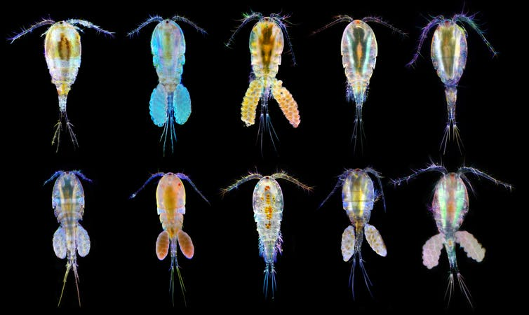 A photo of different species of copepods from various parts of the world.