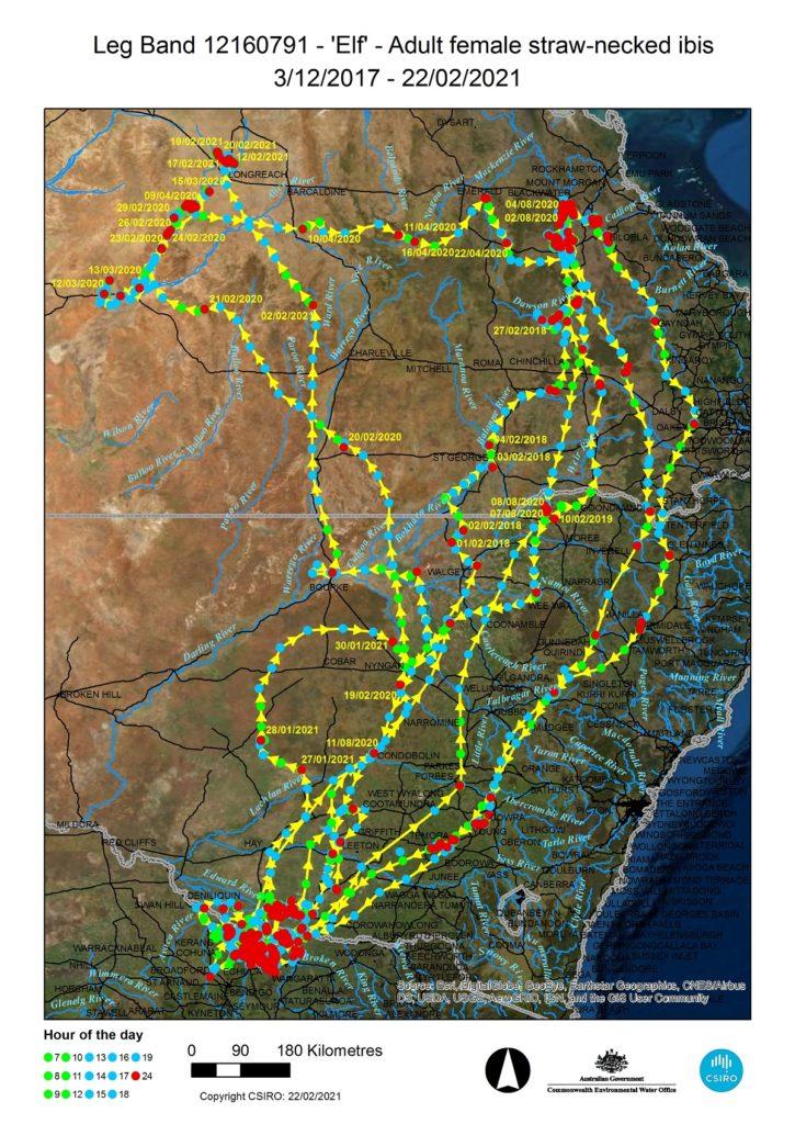 leg band, straw-necked ibis, flight paths