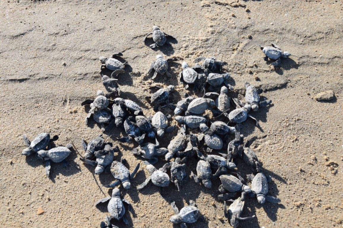 Photo of turtle hatchlings. They are included in our fantastic February Quiz.