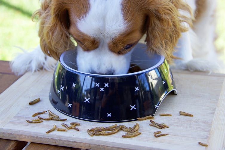 Image of a dog eating a bowl of edible insects.