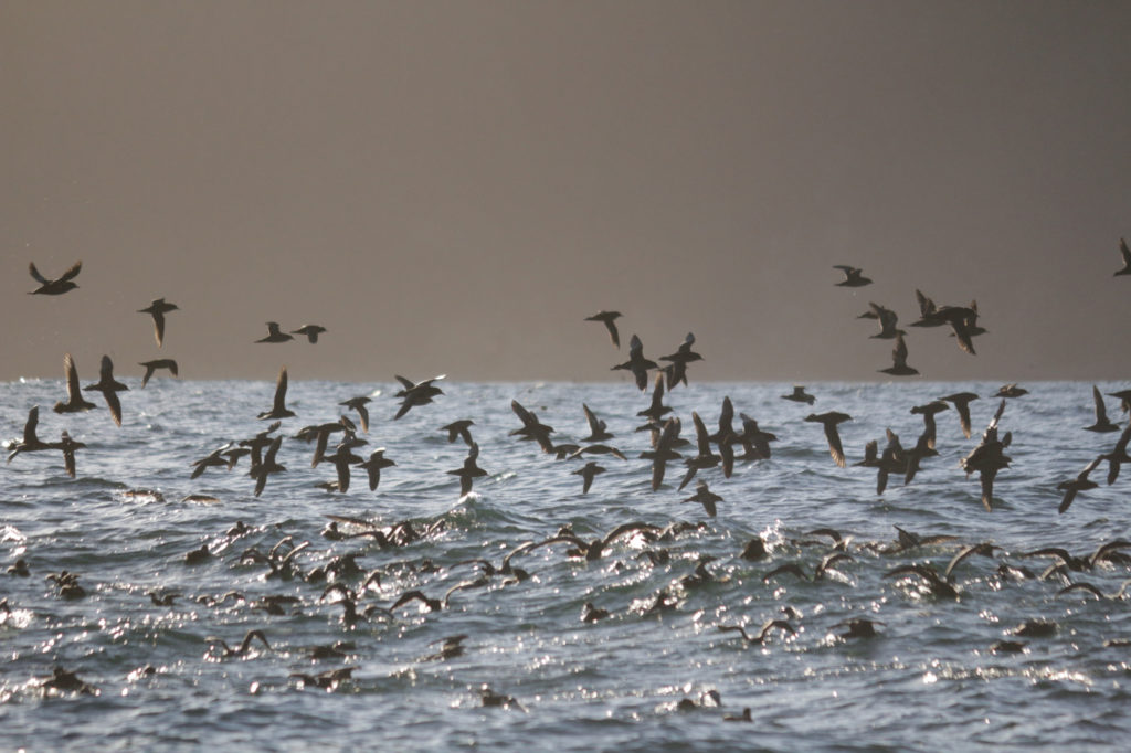 A flock of short-tailed shearwaters (seabirds) flying above the ocean.