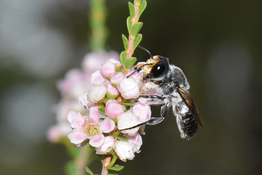 Native bee on pink flower