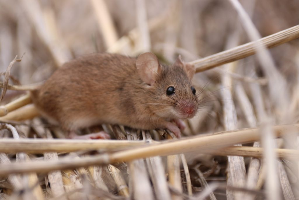 Steve Henry is helping find a solution for the mice plague. This image shows a mouse in wheat stubble.