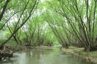 Willow trees shading a river