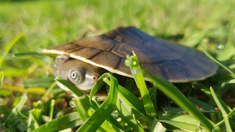The Murray River turtle on grass.