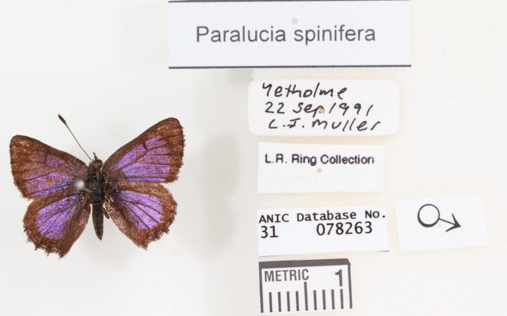 A purple butterfly pinned to a white board with its description next to it.