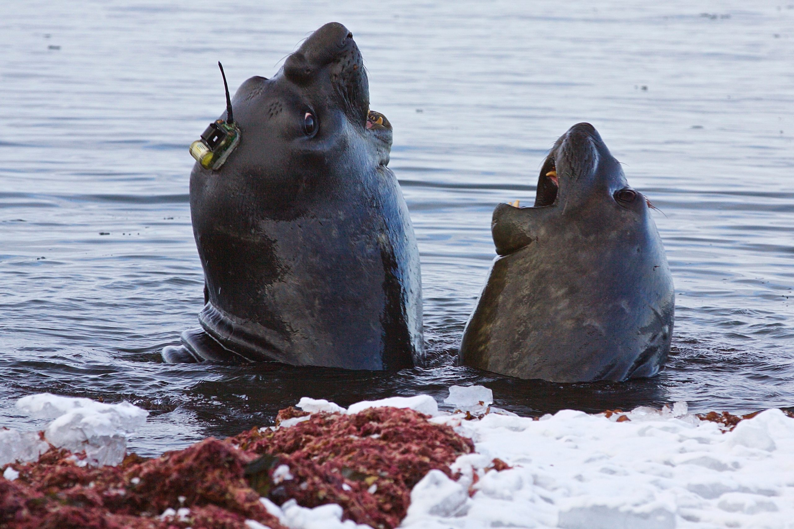 A seal with a tagging device, Antarctica's ice shelves
