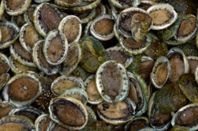 Lots of abalone all piled together in a container.