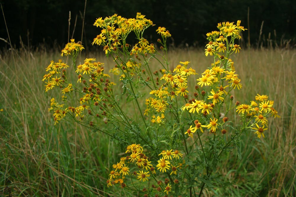 Image of an invasive plant species.