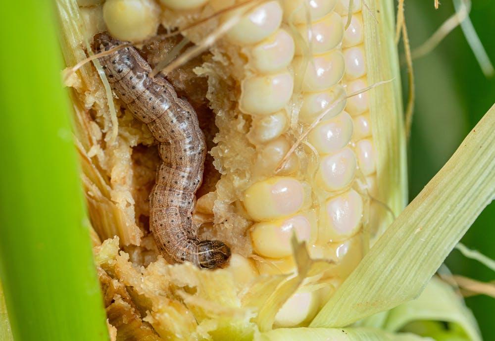 Photo of a fall armyworm, a major crop pest.