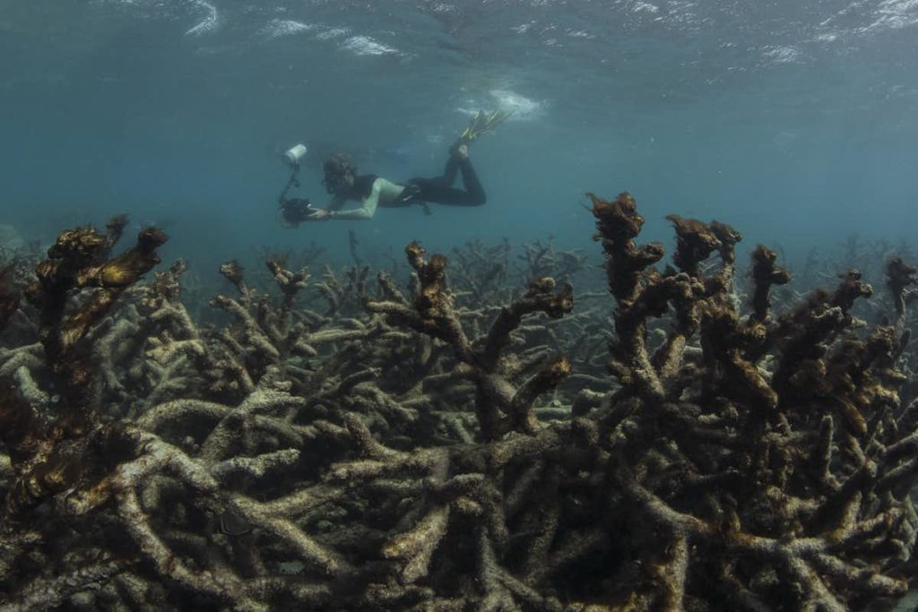An underwater photo of bleached coral with diver.