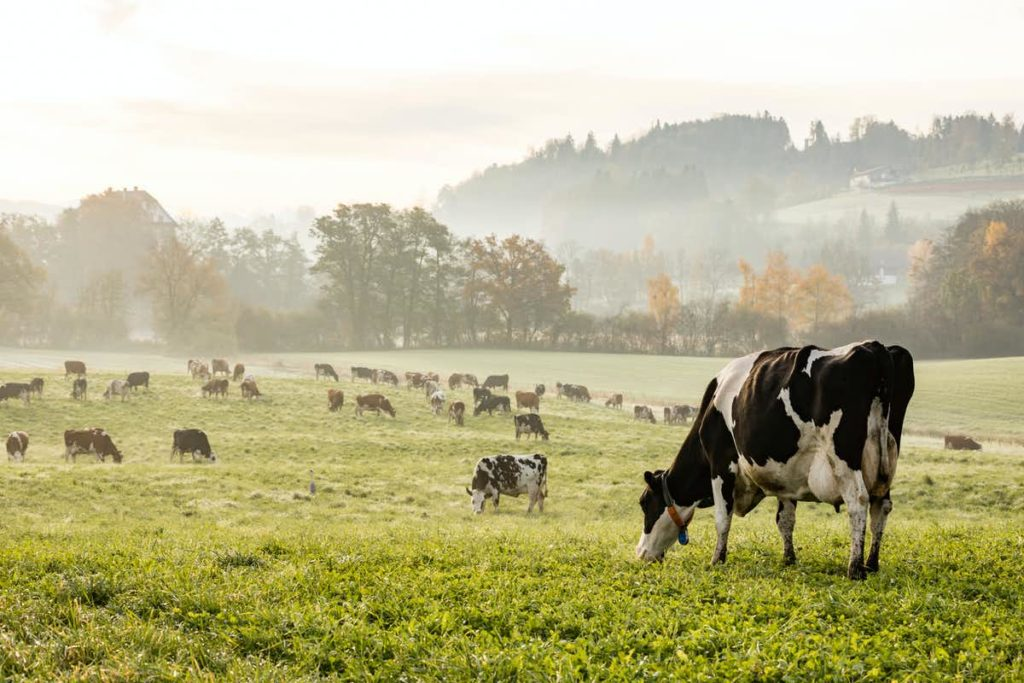 A photo of a group of cows standing in a farm.