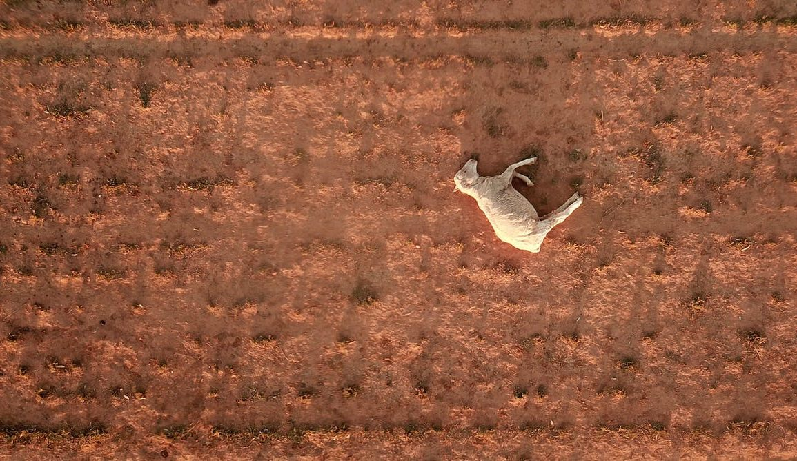 An aerial photo of a deceased sheep laying on dry earth.