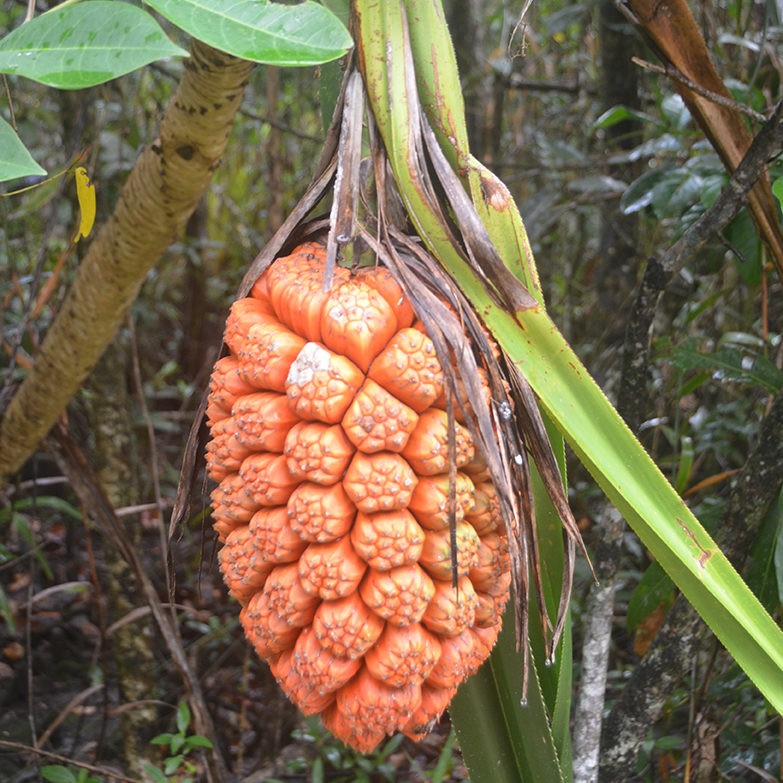 A bright orange fruit hangs from a tree surrounded by forest.