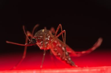 A photo of a mozzie, the aedes aegypti mosquito.