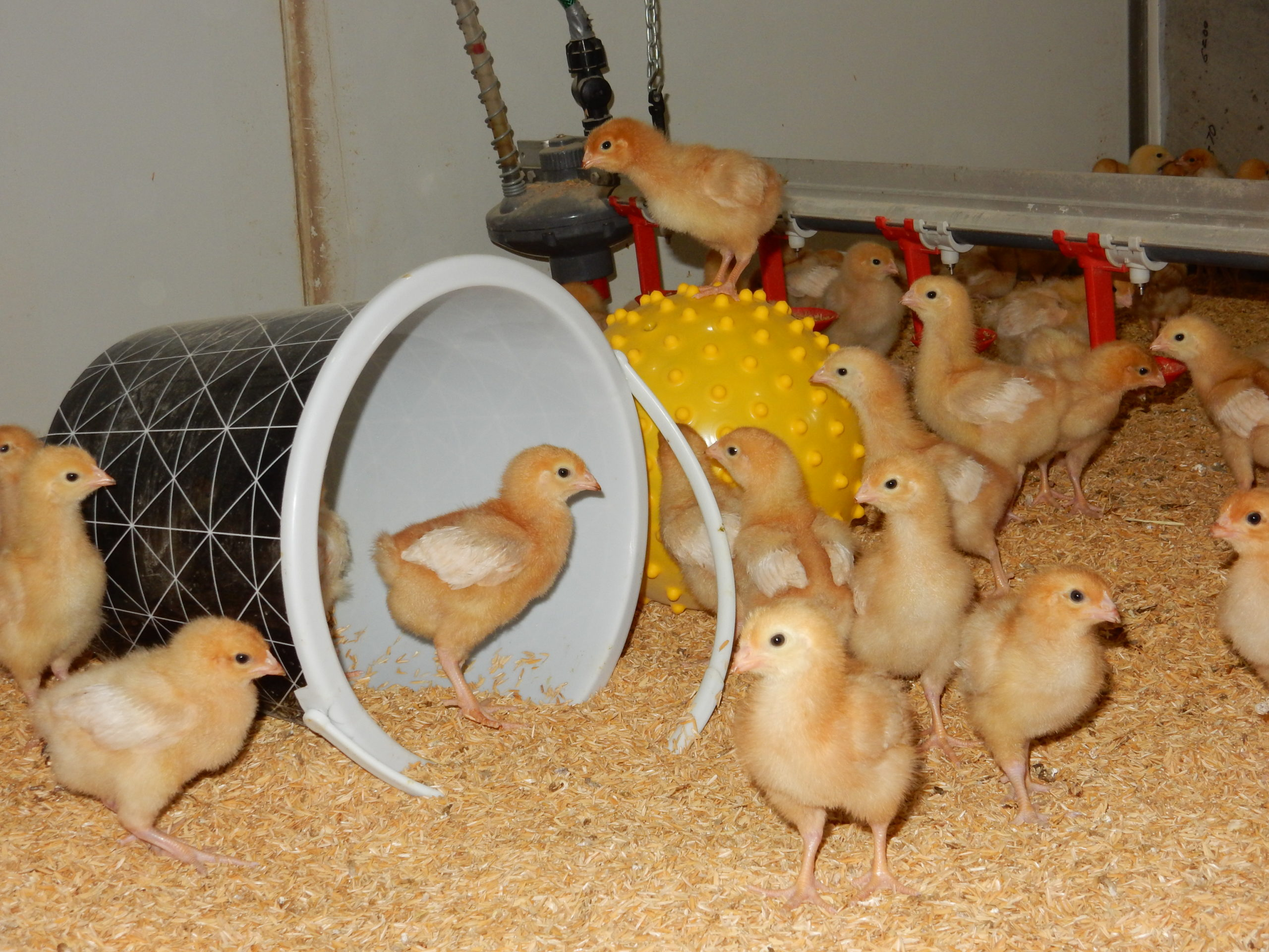 Chicks and a cup