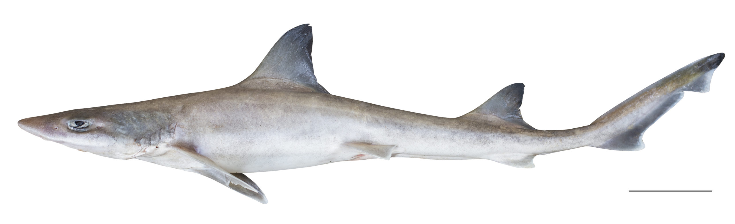 A small grey shark against a white background.