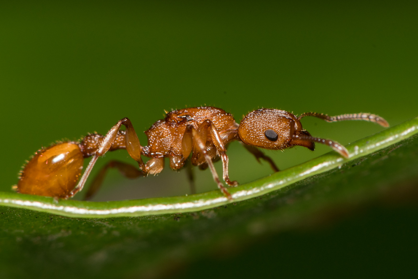 A golden coloured insect (ant) on a green leaf