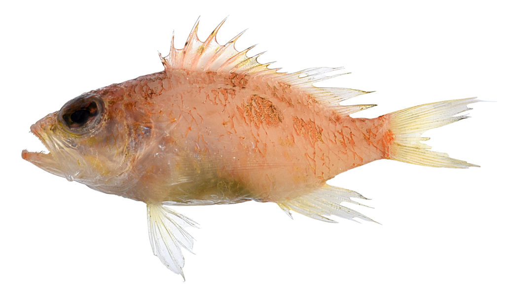 A new species of small orange fish on a white background.