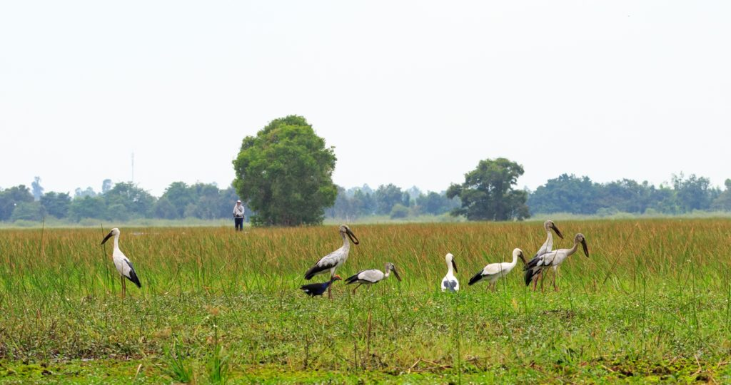 The image is a landscape shot of an open plain area of lush green. The open plain area looks lush and it is covered in tall grass and reeds. In the foreground of the shot a group of nine water birds appear to be feeding. The birds are large, with long thin red legs, upright white bodies with black tail feathers. They have long black beaks. In the middle-ground of the image, a person earing a white hat, jacket and black pants looks out over the plain. The person is standing next to one of two trees that are growing in the open plain. A line of trees appears beyond the plain in the image background.