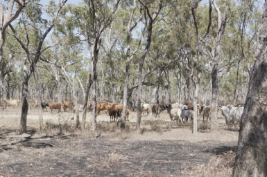 Cows spread out throughout a wooded scrub area.