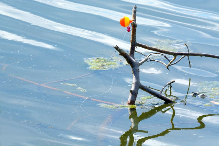 Fishing line and lure tangled around a tree in the water.