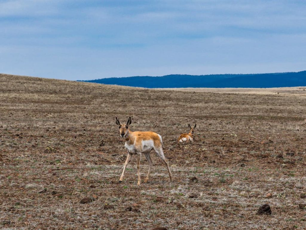 Two Sonoran pronghorn in a landscape with mountains and sky in the background.
